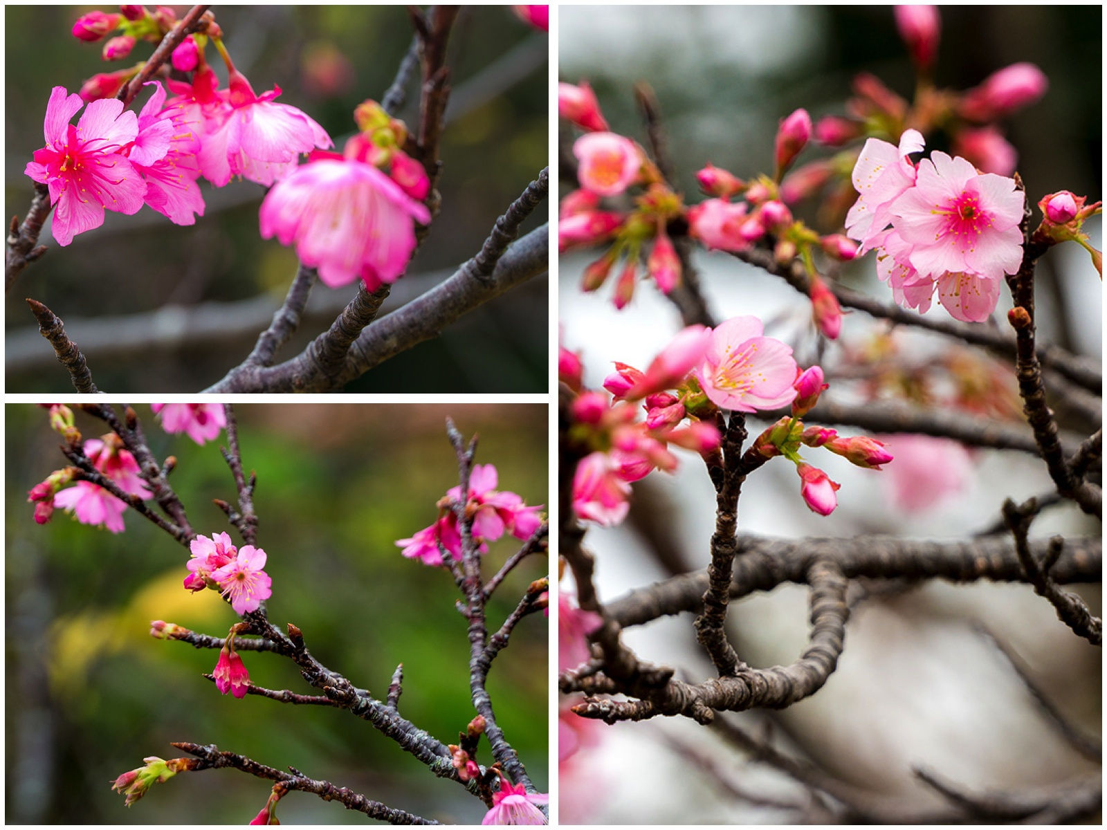 sakura_kakazudaip_collage_150116.jpg